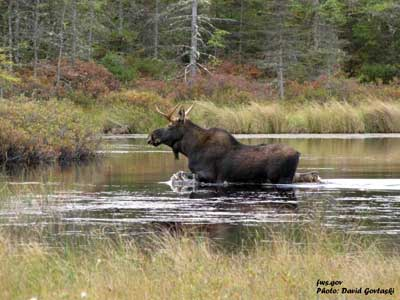 1-USFWS-David-Govtaski-moos